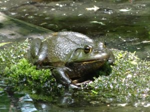 A Bullfrog in a beaver pond
