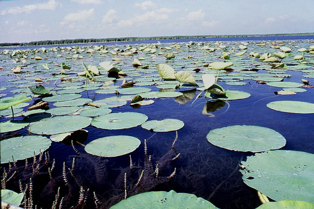 Wetlands covered in aquatic plants with floating leaves